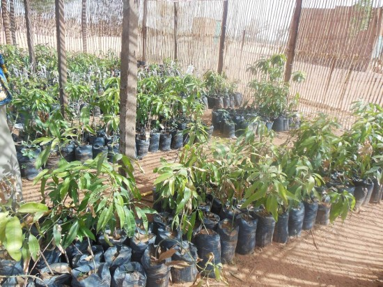 Gonzare students nursery mango